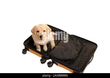 Lustiger Hundetourist im Koffer isoliert auf Weiß. Reisezeit: Mit einem Tier reisen. - Stockfoto