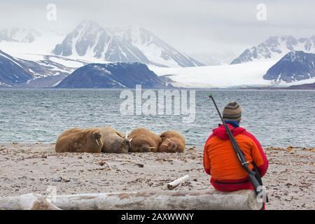 Führer bewaffnet mit Gewehr, die Walrosse (Odobenus rosmarus) beobachten, die am Strand von Svalbard/Spitzbergen, Norwegen, ruhen - Stockfoto