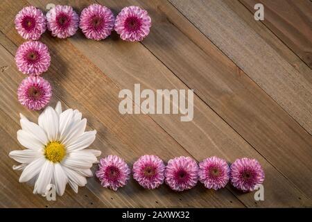 Blumen Komposition von Pink Chrysanthemums Frühlingskonzept auf Holzhintergrund flach lag mit Kopierraum