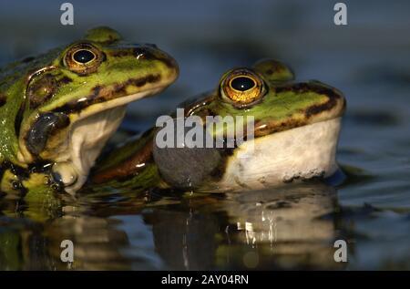 Gruenfroscharten, kleiner Wasserfrosch, Rana lessonae, Poolfrosch, Teichfrosch, Rana esculenta, Speisefrosch, Seefrosch, Rana RID - Stockfoto