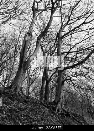 Krasse hohe Winterbäume mit dichten verdrehten Zweigen in Hangwald monochrom - Stockfoto
