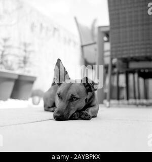 Porträt eines jungen Hundes. Mischbrüte aus deutschem Schepard, chihuahua und Parson Jack russell Terrier. Aufnahme im analogen Mittelformat - Stockfoto