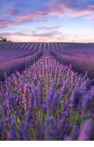Lavendelfeld Sommeruntergangslandschaft bei Valensole - Stockfoto