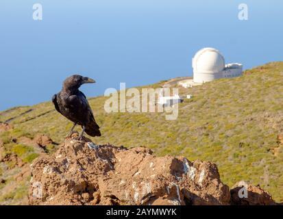 Schwarzer Kanarenkraut oder Ravenvogel, mit William Herschel-Teleskopkuppel im Hintergrund, auf der Insel La Palma, Kanarische Inseln, Spanien - Stockfoto