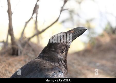 Nahaufnahme der schwarzen Kanarenkruhe oder des Ravenvogels auf der Insel La Palma, Kanarische Inseln, Spanien - Stockfoto