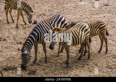 Zebrapaar von Mann und Frau Grant zusammen, tropische Wildpferdespezialitäten aus Afrika - Stockfoto
