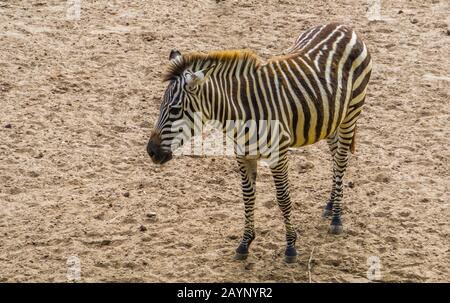 Nahaufnahme des Zebra-Porträts eines Grants, tropische Wildpferdespezialitäten aus Afrika - Stockfoto