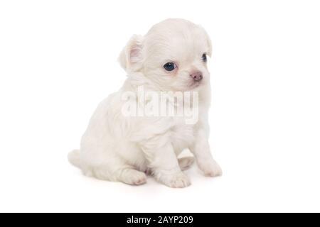 Kleiner weißer Chihuahua-Welpe isoliert auf weißem Hintergrund - Stockfoto