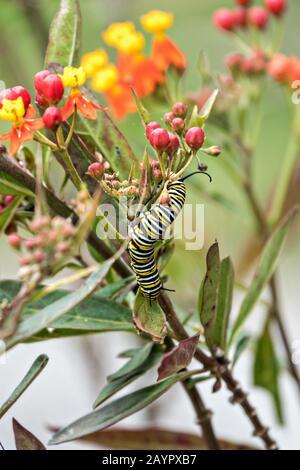 Eine Monarch-Raupe im fünften Staat isst Milchkraut im Cerro Pelon Monarch Butterfly Preserve in der Nähe von Macheros, Michoacan, Mexiko. Die Schmetterlingswanderung des Monarchen ist ein Phänomen in ganz Nordamerika, bei dem die Schmetterlinge jeden Herbst zu Überwinterungsplätzen in Zentralmexiko wandern. - Stockfoto