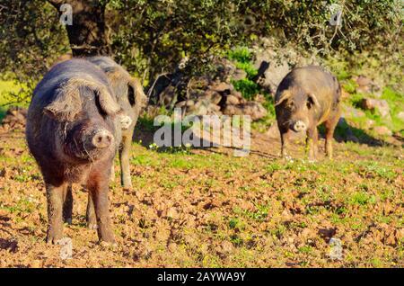 Iberische Schweine auf dem Feld - Stockfoto