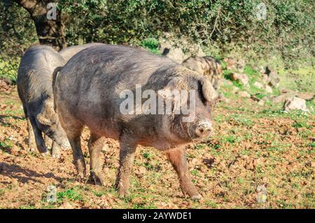 Iberische Schweine auf dem Feld, Extremadura - Stockfoto