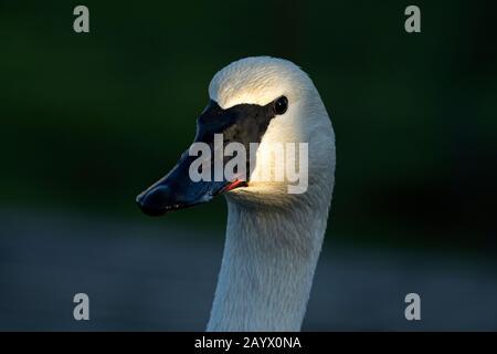 Porträt eines Trompeters Swan-Cygnus Buccinator - Stockfoto