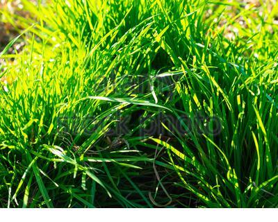 Clumps of Rye Grass, Annual Rye Grass, Lolium multiflorum, Nahaufnahme im Erdgeschoss, smaragdgrüne, sonnenbeleuchtete Hintergrundbeleuchtung - Stockfoto