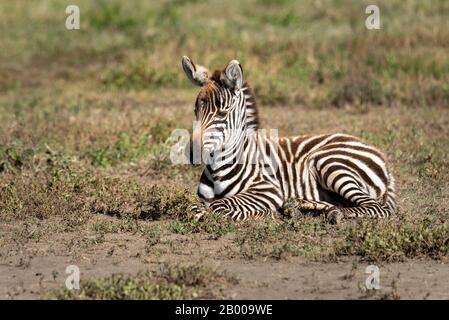Zebrafoal ruht auf der Savanne - Stockfoto
