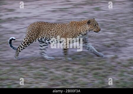 Leopard (Panthera pardus), männlich, Savanne, Panning, Masai Mara Game Reserve, Kenia - Stockfoto
