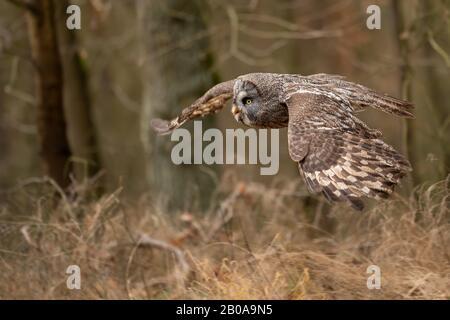 Fliegende Nahaufnahme große graue Eule im Wald mit Flügelspannweite. - Stockfoto