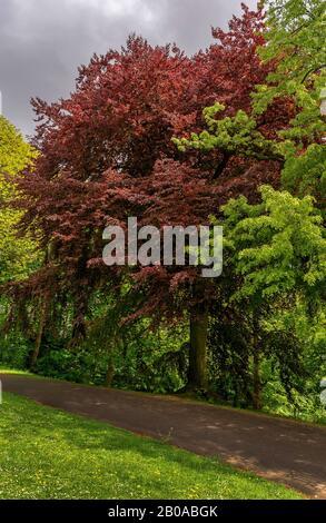 Kupferbuche (Fagus sylvatica var. purpurea, Fagus sylvatica 'Atropunicea', Fagus sylvatica Atropunicea), im Donnerspark zwischen anderen Parkbäumen im Frühjahr, Deutschland, Hamburg-Ottensen