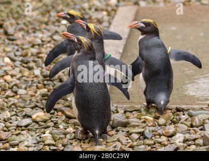 Macarconi Penguins auf der Folly Farm in Wales ausgestellt. - Stockfoto