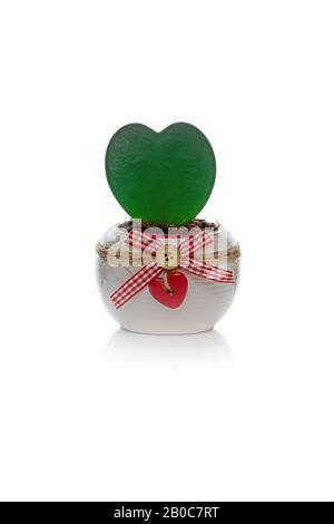 Nahaufnahme des schönen, herzförmigen grünen Blattes der lebenden hoya kerrii Pflanze, in weißem Keramiktopf vergossen und mit rotem Holzherz dekoriert. Isoliert auf w - Stockfoto