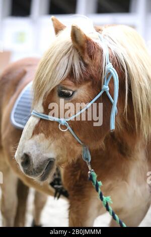 Schulpferdeveranstaltung im Reitplatz. Kopfschuss Nahaufnahme eines Pferdes während der Trainingsveranstaltung - Stockfoto