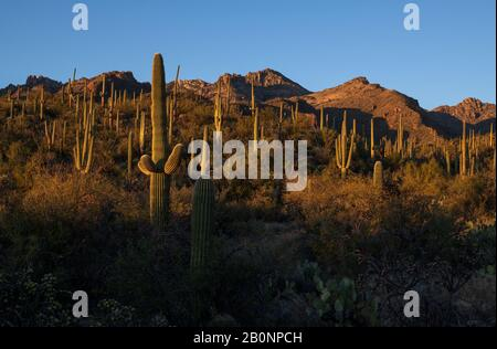 Saguaro Kaktus (Carnegiea gigantea) wächst in den Ausläufern der Santa Catalina Mountains im Gebiet des Sabino Canyon, Coronado National Forest, Sonor - Stockfoto