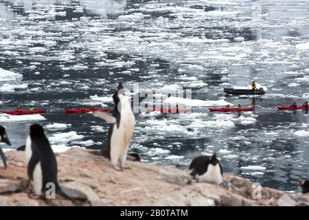 Adelie Penguins, die auf der Peterman Island in der Nähe des Lemaire-Kanals, Graham Land, Antarktis, mit Touristen von einem Kreuzfahrtschiff auf dem Meer Kajakfahren - Stockfoto