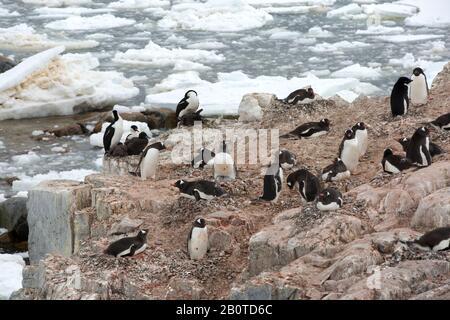 Adelie Penguins, die auf der Peterman Island in der Nähe des Lemaire-Kanals, Graham Land, Antarktis, nisteten. - Stockfoto