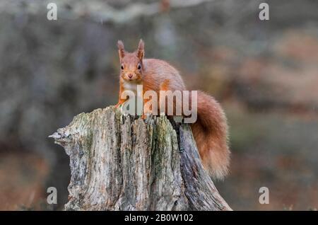 Schottische Tierwelt, Rothörnchen, Sciurus vulgaris - Stockfoto