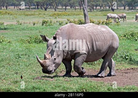 Weißes Nashorn, quadratisch lippiges Nashorn, Grasnashorn (Ceratotherium simum), in seinem Lebensraum, Kenia