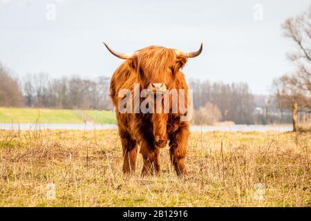 Schottischer Hochländer eine schöne braune Wildkuh mit riesigen Hörnern im sumpfigen Gras in der Nähe des regnerischen Flusses IJssel im Naturreservat bei Fortmond, Th