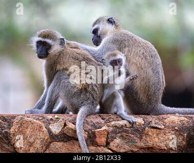 Familiengruppe der Vervet Monkey Chlorocebus pygerythus an einer Wand im Tsavo East National Park im Süden Kenias - Stockfoto