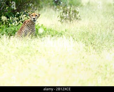 Gepard Acinonyx jubatus in der Mittagshitze im Schatten eines Busches im Tsavo East National Park Southern Kenya - Stockfoto