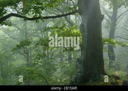 Fagaras-Gebirge Natura 2000-Gebiet / Rumänien: Ungeschützter primärer Buchenwald. Legaler und illegaler Holzeinschlag bedroht den Wildwaldschatz der EU. - Stockfoto