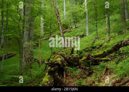 Boia Mica Valley / Fagaras Mountains Natura 2000-Gebiet / Rumänien: Pathlose, aber ungeschützte Waldwildnis in einem der wildesten Täler der EU. - Stockfoto