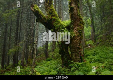 Sambata-Tal / Fagaras-Gebirge Natura 2000-Gebiet / Rumänien: Uralte, aber ungeschützte Waldwildnis mit sehr alten Platanen und Fichten. - Stockfoto