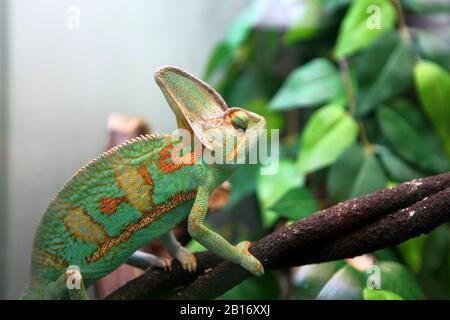 Grünes buntes Chamäleon auf dem Ast sitzend - wildes Tier Nahsicht.