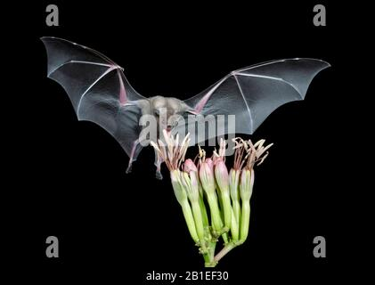 Weniger Langnasenfledermaus (Leptonycteris curasoae), die von einer Agave Blume ernährt wird. Amado, Arizona.