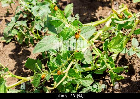 Nahaufnahme vieler Colorado-Wanzen, die Kartoffelblätter auf dem Feld essen. Schützen Sie Ihr Erntekonzept. - Stockfoto
