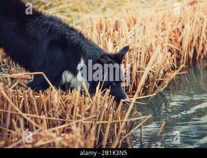 Nahaufnahme Portrait, durstiger Rand Collie Hund Trinkwasser aus Teich draußen im Park umgeben von Schilfbewuchs. Frühlings-Morgenszene in der - Stockfoto