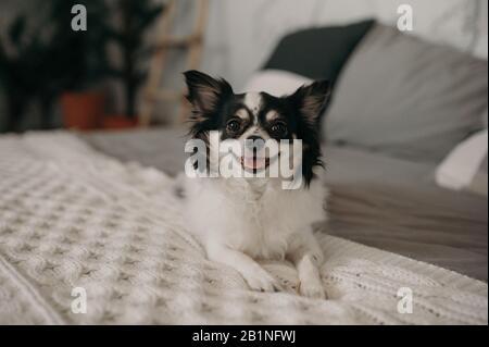 Ein kleiner schwarz-weißer Begleithund der kontinentalen Spielzeug-Spaniel-Rasse liegt auf einem weichen, gemütlichen Bett im weißen Innenraum des Raumes - Stockfoto