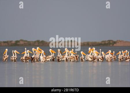 Ostweißpelikan (Pelecanus onocrotalus), Herde in See, Türkei