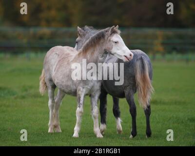 Zwei junge walisische Ponys interagieren zusammen in einem Fahrerlager. - Stockfoto