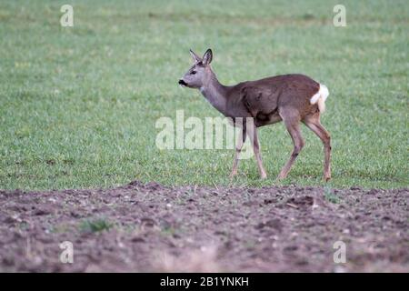 Europäischer Rehe. Februar 2020 © Wojciech Strozyk / Alamy Stock Photo - Stockfoto