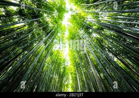 Kyoto, Japan Weitwinkel Blick auf Arashiyama Bambus Waldpark-Muster vieler Pflanzen am Frühlingstag mit grüner Blattfarbe
