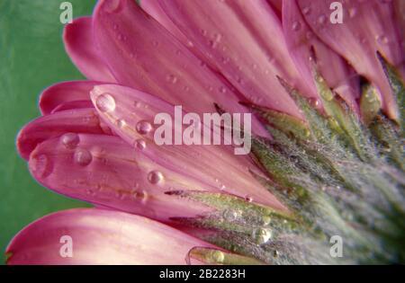 Nahaufnahme von Regentropfen auf den Blütenblättern eines rosa Gänseblümchens - Stockfoto