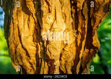 Das Trocknen von Tabakblättern in der Sonne. Verfahren zur Zubereitung von Tabakblättern für die Herstellung von Zigarren und Zigaretten - Stockfoto