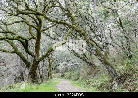 Oak Tree Tunnel an der Butano Fire Road - Stockfoto