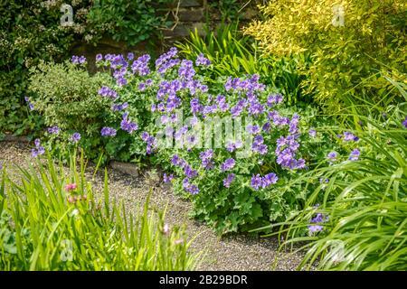 Storchschnabel (Geranium x magnificum) - Stockfoto