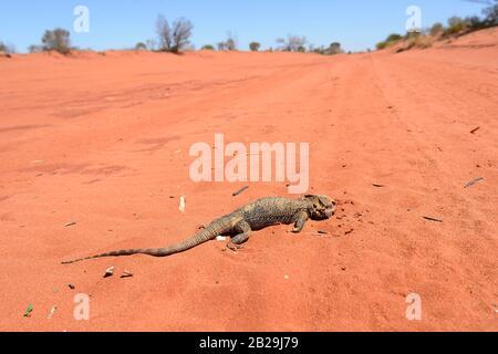 Bärtiger Drache Roadkill auf einer roten, unbesiegten Straße im australischen Outback, Northern Territory, NT, Australien - Stockfoto