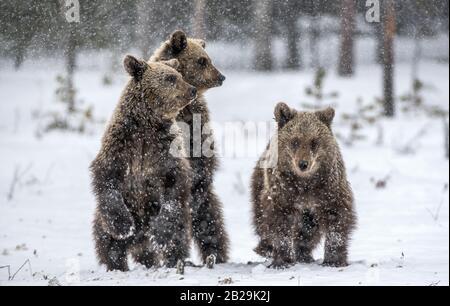 Bärenkuppen stehen im Winterwald auf den Hinterbeinen. Natürlicher Lebensraum. Braunbär, wissenschaftlicher Name: Ursus Arctos Arctos. - Stockfoto